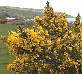 http://www.ukstudentlife.com/Travel/Tours/NorthernIreland/Antrim/Gorse.jpg
